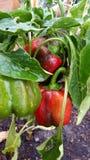 röda spansk peppar Fotografering för Bildbyråer