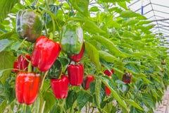 Röda spansk peppar i ett växthus Arkivfoto