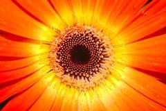 Röda spanska Daisy Flower Arkivbild