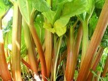 Röda stammar av rabarberRheumrhabarbarumen som växer i grönsakodlingslott royaltyfri fotografi