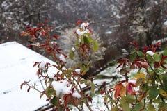 Röda stammar av rosenträt under snö arkivfoton