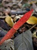 Röda Stinkhorn Arkivbild