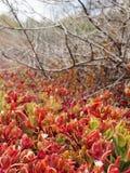 Röda suckulentväxter med döda buskar Royaltyfri Fotografi