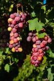 Röda sunda druvafrukter Arkivfoto