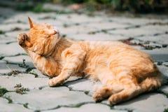 Röda Tabby Cat Male Kitten Lick Washes själv Fotografering för Bildbyråer