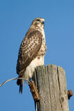 Röda Tailed Hawk On Utility Pole Royaltyfri Bild