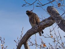 Röda Tailed Hawk Watching kameran fotografering för bildbyråer