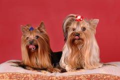 röda terriers två yorkshire för bakgrund Fotografering för Bildbyråer