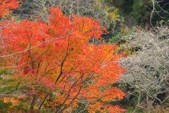 Röda tjänstledigheter för höstbakgrund med sakura i Obara Nagoya Japan Royaltyfri Bild
