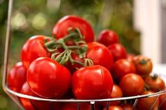 röda tomater Royaltyfria Bilder