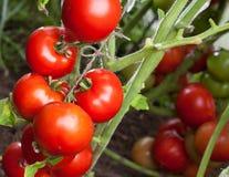 Röda tomater arkivbilder