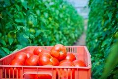 Röda tomater i trädgården Arkivfoton