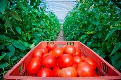 Röda tomater i växthus Royaltyfri Fotografi