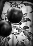 röda tomater Konstnärlig blick i svartvitt Arkivbilder