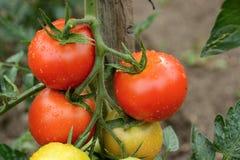 Röda tomater på en fatta efter regn royaltyfri bild