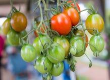 Röda tomater, röda tomater som är nya från trädet Arkivfoto