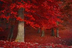 Röda träd i skogen Arkivfoton
