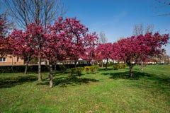 Röda trädblommor Arkivbild