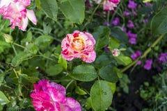 Röda trädgårdrosor för den vita violeten, en bild på en fullständigt öppen dolk, bakgrunden är suddiga Royaltyfria Bilder