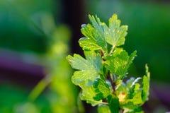 Röda trädgårds- vinbärsidor Fotografering för Bildbyråer