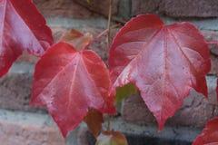 Röda trädsidor Fotografering för Bildbyråer