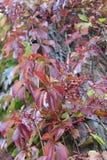 Röda trädsidor Arkivbilder