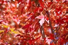 Röda trädsidor Arkivbild