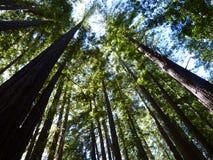 Röda trän Royaltyfri Fotografi