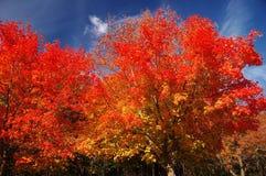 röda trees Royaltyfri Bild