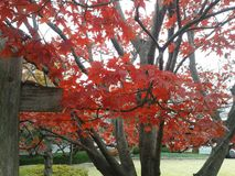 Röda trevliga lönnlöv av Japan arkivfoto