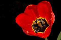 Röda Tulip On Black Background Closeup Arkivfoto