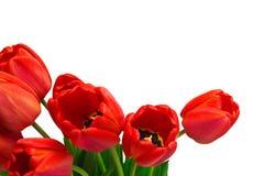 Röda Tulip Border Arkivbild