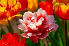 Röda Tulip Flowers. Fotografering för Bildbyråer