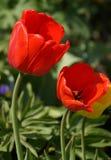 Röda Tulip Pair Royaltyfria Foton