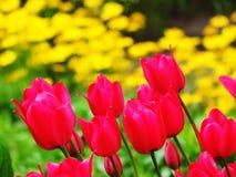 Röda tulipan blommor i trädgård Fotografering för Bildbyråer