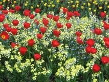 Röda tulipeblommor Royaltyfria Bilder