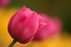 röda tulpan Royaltyfria Bilder