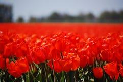 röda tulpan Royaltyfri Fotografi