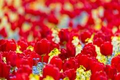 Röda tulpan Arkivbilder