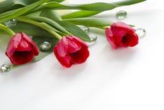 Röda tulpan Fotografering för Bildbyråer