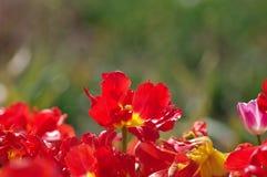 Röda tulpan Royaltyfri Bild