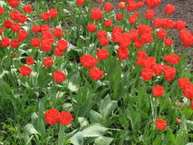 Röda tulpan royaltyfria foton