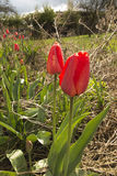 Röda tulpan bland de degraderade gamla växterna Arkivfoto