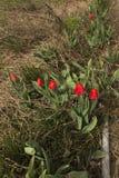 Röda tulpan bland de degraderade gamla växterna Arkivbild