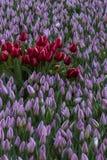 Röda tulpan bland lila tulpan Royaltyfri Foto