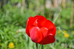 Röda tulpan för härlig blomning i trädgården i vår Arkivfoto