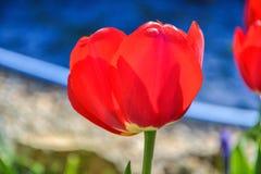 Röda tulpan för härlig blomning i trädgården i vår Royaltyfria Bilder