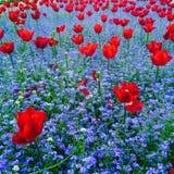 Röda tulpan i blåttfält Arkivfoto