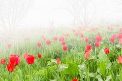 Röda tulpan i en wild pitch i dimma royaltyfri bild