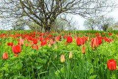 Röda tulpan i en wild pitch i ogräsen arkivfoto